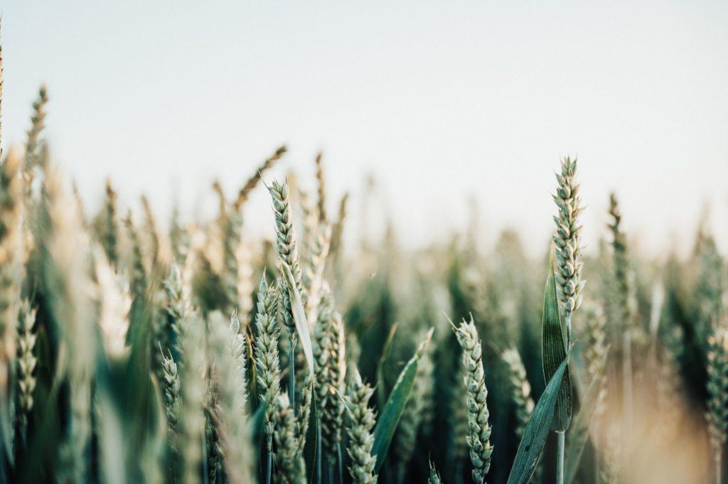 Gluten and the gluten-free diet